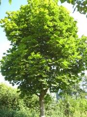 Клён обыкновенный Acer platanoides