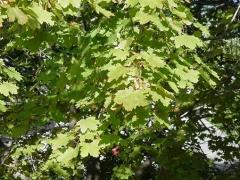 Acer platanoides Киев