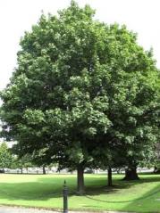 Клён ложноплатановый <br>Клен псевдоплатановий <br>Acer pseudoplatanus