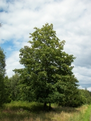 Acer pseudoplatanus (Явор)