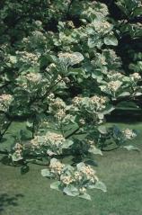 Sorbus aria (Рябина круглолистная)