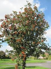 Рябина круглолистная Sorbus aria