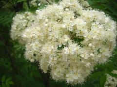 Рябина обыкновенная цветение