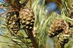 Сосна обыкновенная Pinus sylvestris купить