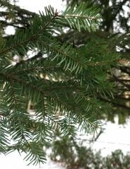 Пихта белая (европейская) Abies alba