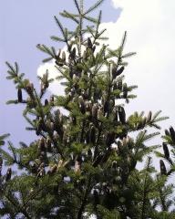 Пихта бальзамическая Abies balsamea