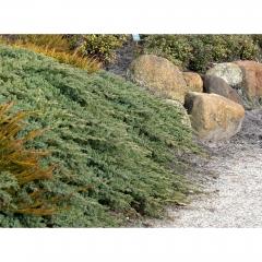 Можжевельник средний Пфитцериана Глаука <br>Ялівець середній Пфітцеріана Глаука <br>Juniperus media Pfitzeriana Glauca