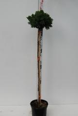 Можжевельник лежачий Нана плакучий на штамбе 0,9-1,05м