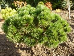 Cосна горная Литомисл Pinus mugo Litomysl купить