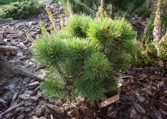 Pinus mugo Litomysl купить