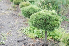 Сосна горная Литомисл (на штамбе 60 см)