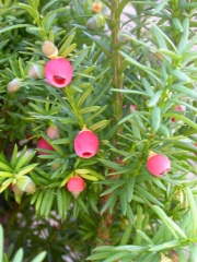 Taxus media Densiformis плоды