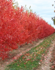 Клен червоний Октобер Глорі Acer rubrum October Glory фото