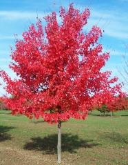 Клён красный October Glory