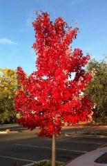 Клён красный Октобер Глори