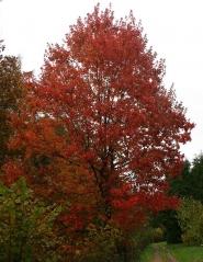 Клён красный Октобер Глори Acer rubrum October Glory
