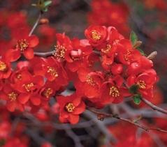 Айва японская Crimson and Gold купить