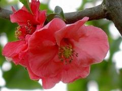 Айва средняя Pink Lady фото