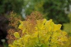 Скумпия кожевенная Голден Спирит (Дымное дерево)