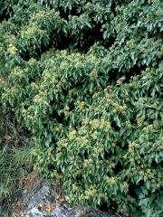 Плющ обыкновенный Arborescens