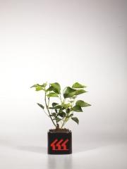 Плющ обыкновенный Arborescens возраст 2 года