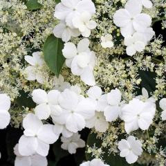 Гортензия черешковая Hydrangea anomala Petiolaris