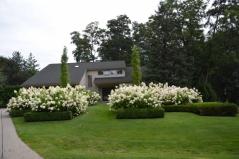 Гортензия древовидная Анабель (Hydrangea arborescens Annabelle)