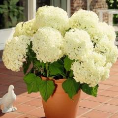 Гортензия Аннабель цветы