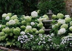 Гортензія деревовидна Аннабель фото