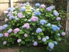 Гортензия крупнолистная Нико Блю <br>Гортензія крупнолиста Ніко Блю <br>Hydrangea macrophylla Nikko Blue