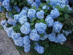 Гортензия крупнолистная Нико Блю Hydrangea macrophylla Nikko Blue Гортензія крупнолиста Ніко Блю