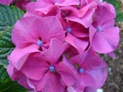 Hydrangea macrophylla Sibilla