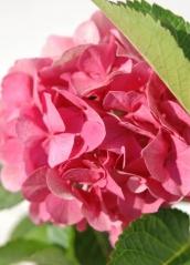 Гортензия крупнолистная Сибилла цветок