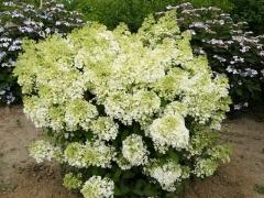 Гортензия метельчатая Бобо® Hydrangea paniculata Bobo® Гортензія метельчата Бобо®