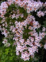 Кольквиция прелестная Пинк Клоуд Kolkwitzia amabilis Pink Cloud