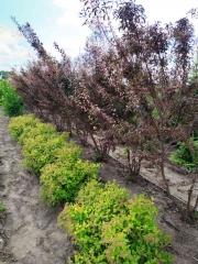 Слива растопыренная Хессея / Prunus cerasifera Hessei