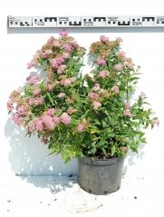 Спирея японская Широбана диаметр растения 60см