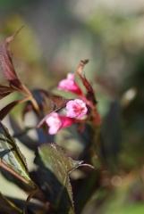 Вейгела цветущая Александра цветок