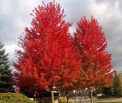 Клён красный Acer rubrum Клен червоний