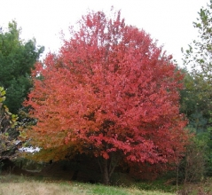 Клён красный Acer rubrum