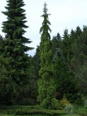 Ель обыкновенная / европейская Ротенхаус <br>Ялина звичайна / європейська Ротенхаус <br>Picea abies Rothenhaus