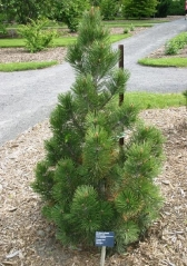 Pinus heldreichii/leucodermis Compact Gem