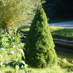 Ель канадская / сизая Цукерхут <br>Ялина канадська / сиза Цукерхут<br>Picea glauca Zuckerhut