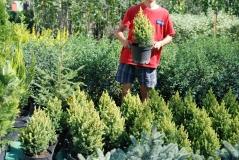 Ель канадская Дейзи Уайт / Picea glauca Daisy's White