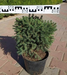 Ель сербская Карел, диаметр 30 см