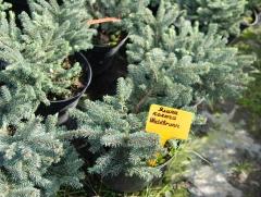 Picea Waldbrunn