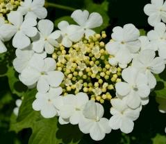 Калина обыкновенная цветы