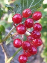 Viburnum Compactum. Плоды.