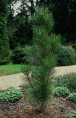 Pinus nigra Fastigiata