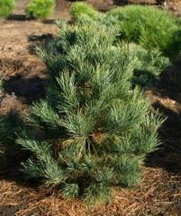 Кедр европейський / Pinus cembra